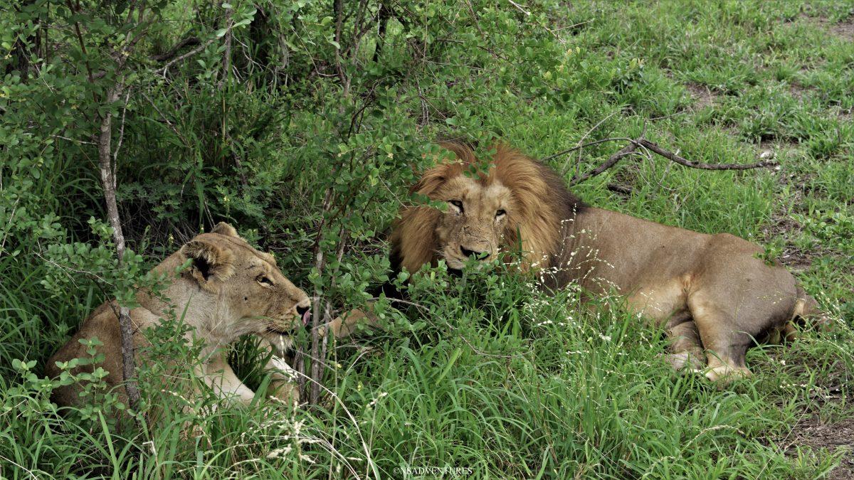 Leone e leonossa durante un Safari al Kruger National Park